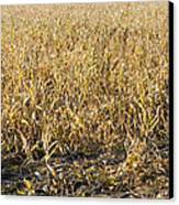 Autumn Cattle Silage Corn In Maine Canvas Print by Keith Webber Jr