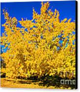 Autumn Colors Gingko Tree  Canvas Print