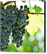 Autumn Ripe Red Wine Grapes Right Before Harvest Canvas Print by Ulrich Schade