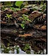 Baby Alligators Reflection Canvas Print