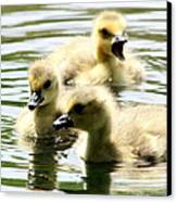 Baby Geese Canvas Print by Diane Rada