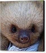 Baby Sloth Canvas Print by Heiko Koehrer-Wagner