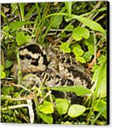 Baby Woodcock Canvas Print by Thomas Pettengill
