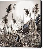 Backlit Winter Reeds Canvas Print