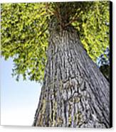 Bald Cypress In Morning Light Canvas Print
