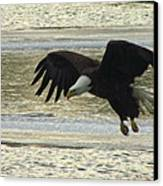 Bald Eagle Coming In For Landing Canvas Print by Mitch Spillane
