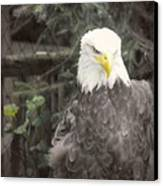 Bald Eagle Canvas Print by Dawn Gari