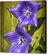 Balloon Flower Canvas Print by Marcia Colelli