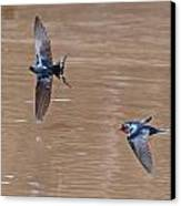 Barn Swallow In Flight Canvas Print by Mike Dickie
