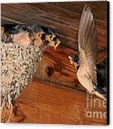 Barn Swallow Nest Canvas Print by Scott Linstead