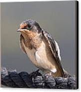 Barn Swallow On Rope I Canvas Print by Patti Deters