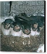 Barn Swallows Canvas Print by Hans Reinhard