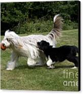 Bearded Collies Playing Canvas Print by John Daniels