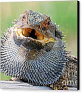 Bearded Dragon In Defense Mode Canvas Print by Christopher Edmunds
