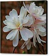 Beautiful Magnolias Canvas Print by Victoria Sheldon