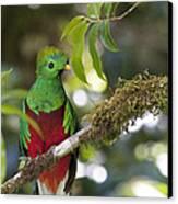 Beautiful Quetzal 1 Canvas Print