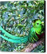 Beautiful Quetzal 3 Canvas Print by Heiko Koehrer-Wagner