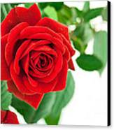 Beautiful Red Roses Flower Canvas Print by Boon Mee