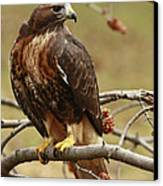 Beauty In Nature Red Tailed Hawk In The Spring  Canvas Print by Inspired Nature Photography Fine Art Photography
