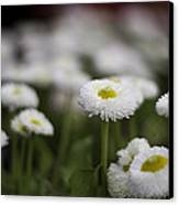 Bellis Perennis Canvas Print by Lesley Rigg