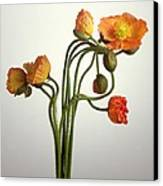 Bendy Poppies Canvas Print by Norman Hollands