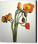 Bendy Poppies Canvas Print