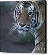 Bengal Tiger Canvas Print by Brenda Schwartz