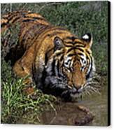 Bengal Tiger Drinking At Pond Endangered Species Wildlife Rescue Canvas Print