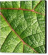 Big Green Leaf 5d22460 Canvas Print