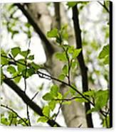 Birch Tree In Spring Canvas Print by Elena Elisseeva