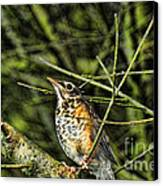 Bird - Baby Robin Canvas Print by Paul Ward
