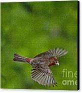 Bird Soaring With Food In Beak Canvas Print