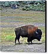 Bison In Lamar Valley Canvas Print by Marty Koch
