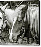 Black And White Horses. Canvas Print