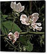 Black Berry Blossoms Canvas Print by Elery Oxford