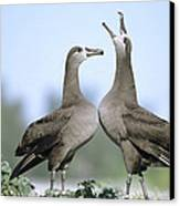 Black-footed Albatross Courtship Dance Canvas Print