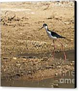 Black-necked Stilt Canvas Print by Robert Bales