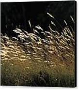 Blades Of Grass In The Sunlight Canvas Print by Jim Holmes