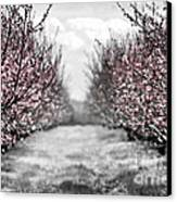 Blooming Peach Orchard Canvas Print by Elena Elisseeva