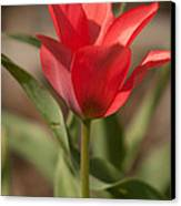 Blooming Tulip Canvas Print by Cari Gesch