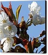 Blossoms 2 Canvas Print