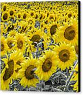 Blossoms Only Sunflowers Canvas Print by Thomas Pettengill