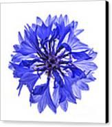 Blue Cornflower Flower Canvas Print by Elena Elisseeva
