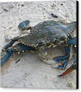 Blue Crab Canvas Print by Paula Rountree Bischoff