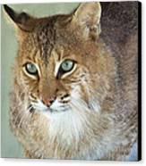 Blue Eyed Bobcat Canvas Print by Jennifer  King