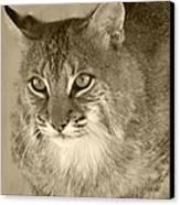 Blue Eyed Bobcat-sepia Canvas Print