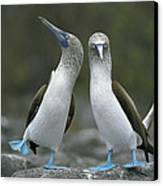 Blue Footed Booby Dancing Canvas Print by Tui De Roy