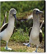 Blue-footed Booby Pair In Courtship Canvas Print by Tui De Roy