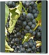 Blue Grapes Canvas Print by Patricia Overmoyer