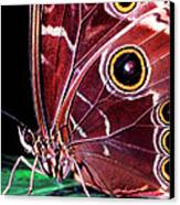 Blue Morpho Butterfly Canvas Print by Thomas R Fletcher